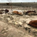 Hundreds of Thousands of Cattle Loss Expected in Australia